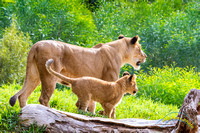 Lion Cubs 11-12-14 - IMG_6754