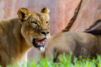 Lion Cubs 11-12-14 - IMG_6650