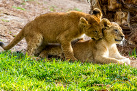 Lion Cubs 11-12-14 - IMG_6677