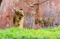Lion Cubs 11-12-14 - IMG_6642