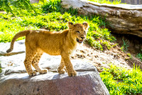 Lion Cubs 11-12-14 - IMG_6699
