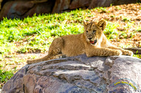 Lion Cubs 11-12-14 - IMG_6483