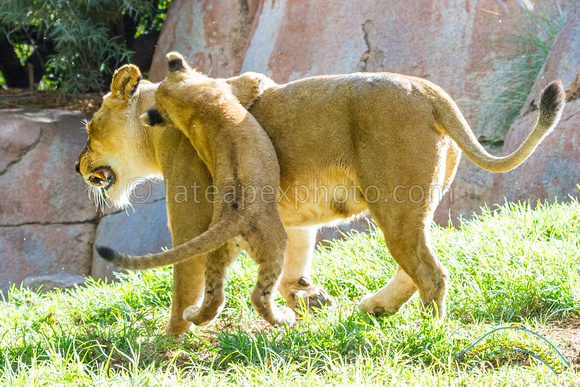 Lion Cubs 11-12-14 - IMG_6627