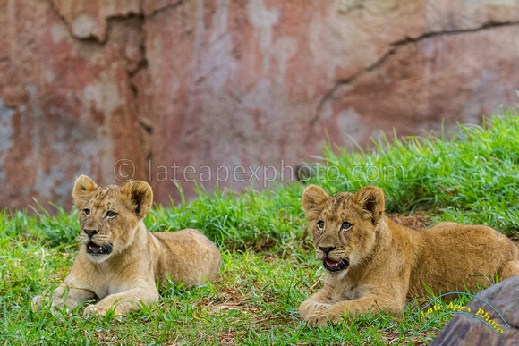 Lion Cubs 11-12-14 - IMG_6668
