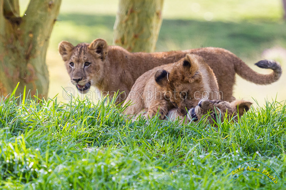 Lion Cubs 11-12-14 - IMG_6582