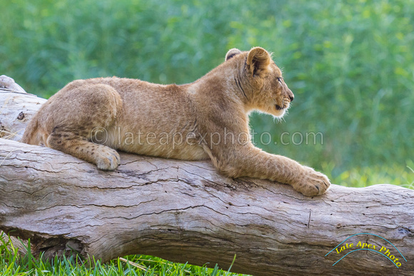 Lion Cubs 11-12-14 - IMG_6827