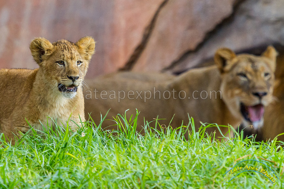 Lion Cubs 11-12-14 - IMG_6651