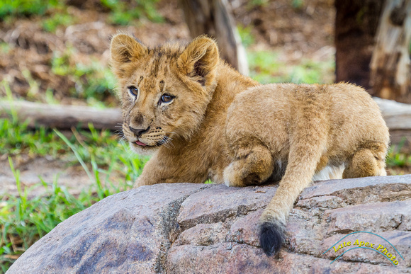 Lion Cubs 11-12-14 - IMG_6742