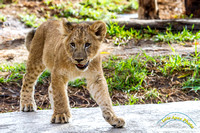 Lion Cubs 11-12-14 - IMG_6473